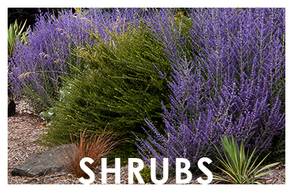 2016-Widget-Shrubs-Roses2